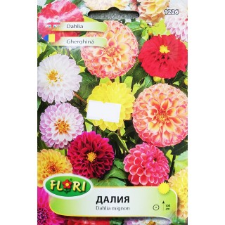 Цветя Далия 1226 | Макадамия 05