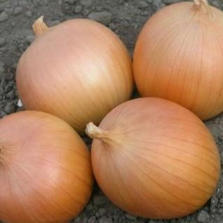 Семена лук Дайтона F1 | Макадамия 05