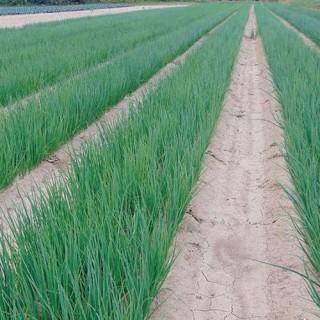 Семена зелен лук Милена F1 | Макадамия 05