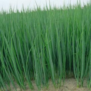 Семена зелен лук Параде F1 | Макадамия 05