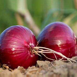 Семена червен лук Робин F1 | Макадамия 05