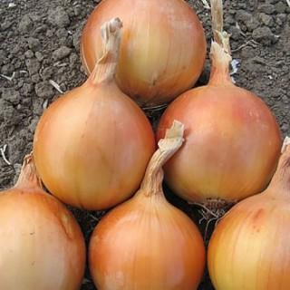 Семена лук Седона F1 | Макадамия 05