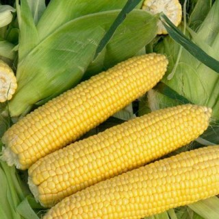 Семена царевица Сигнет F1 | Макадамия 05