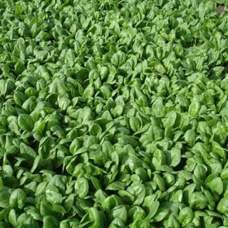 Семена спанак Яби F1 | Макадамия 05