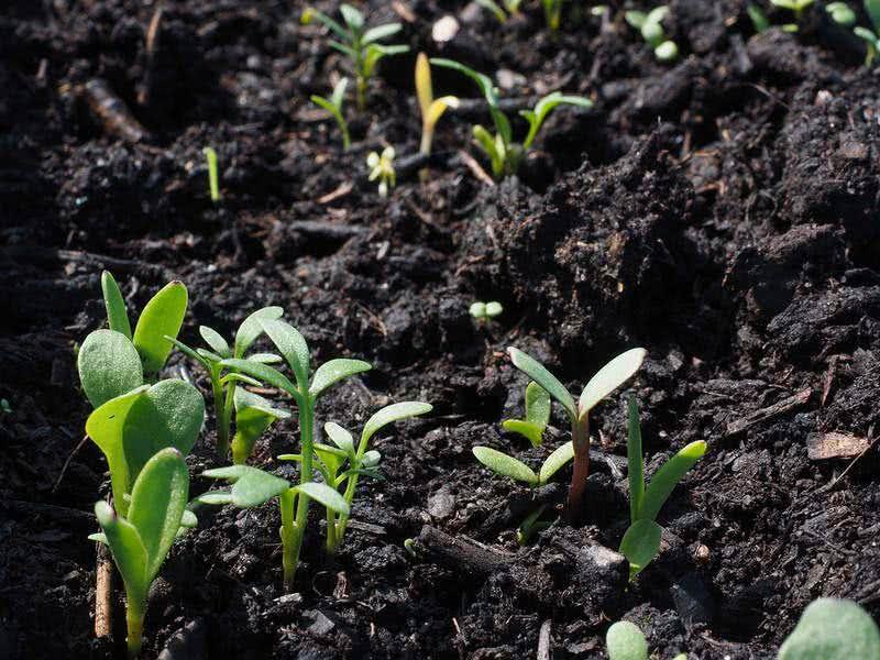 Сортови семена хоби и професионални опаковки