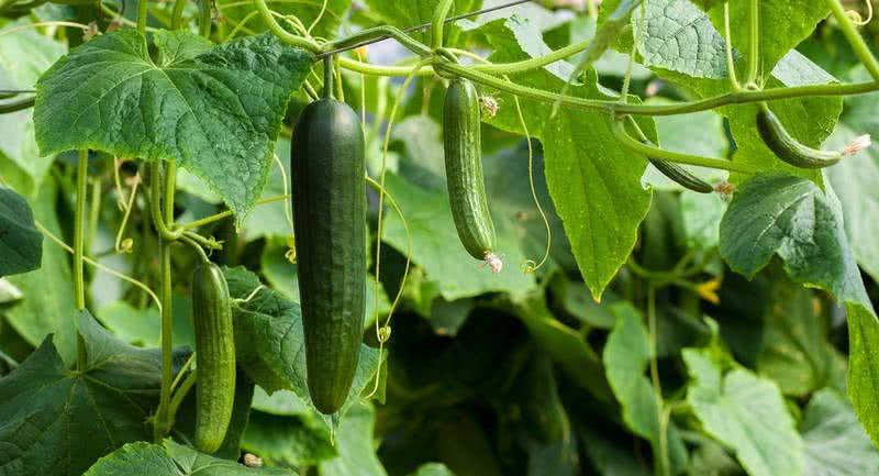 Сортови семена краставици