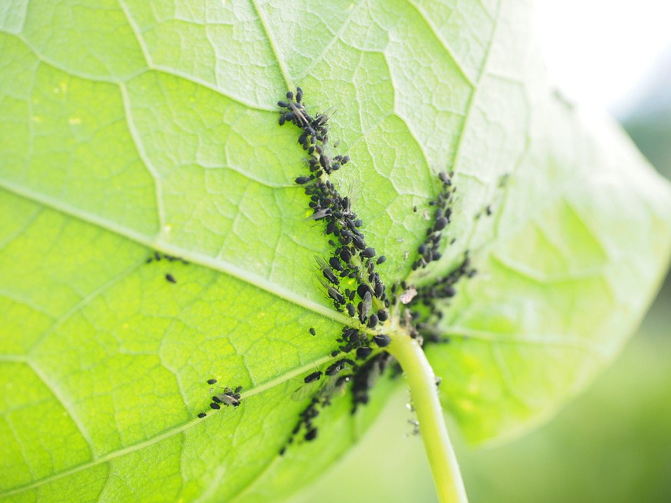 АКТАРА 25 ВГ срещу листни въшки