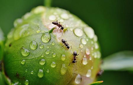 Айкън отрова за мравки